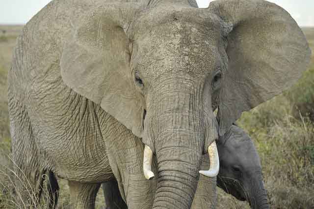 Selous Elephant