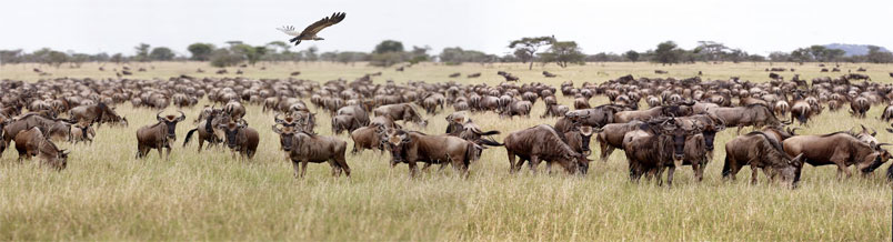 serengeti national park wildebeest